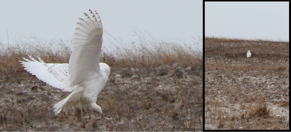 PHOTOS:  Snowy Owl Visits HyTown…