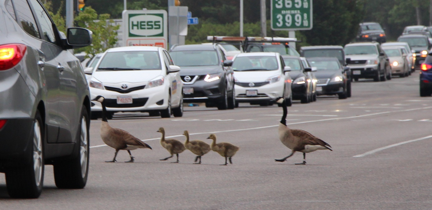 Make way for goslings… [Video]