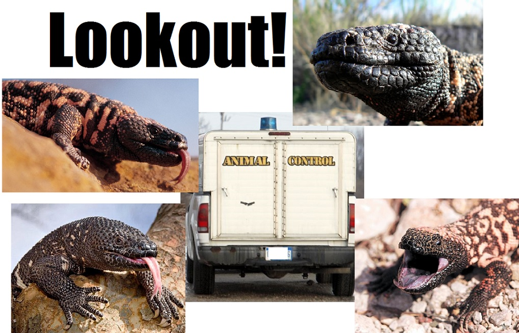 Gonzo Report:  Invasion of the Gila monsters… a raid on a dog owner's home…