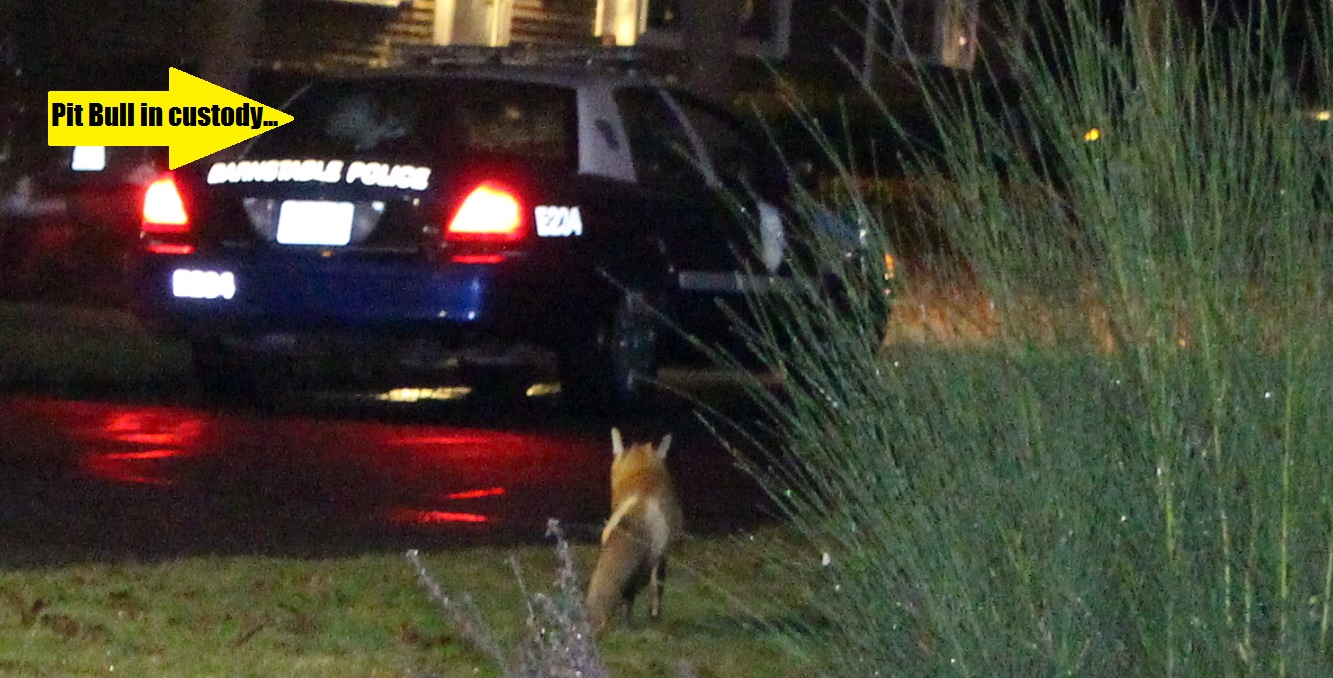 HOLIDAY ADVISORY:  Foxes may be conspiring to commit crimes during Christmas rush…