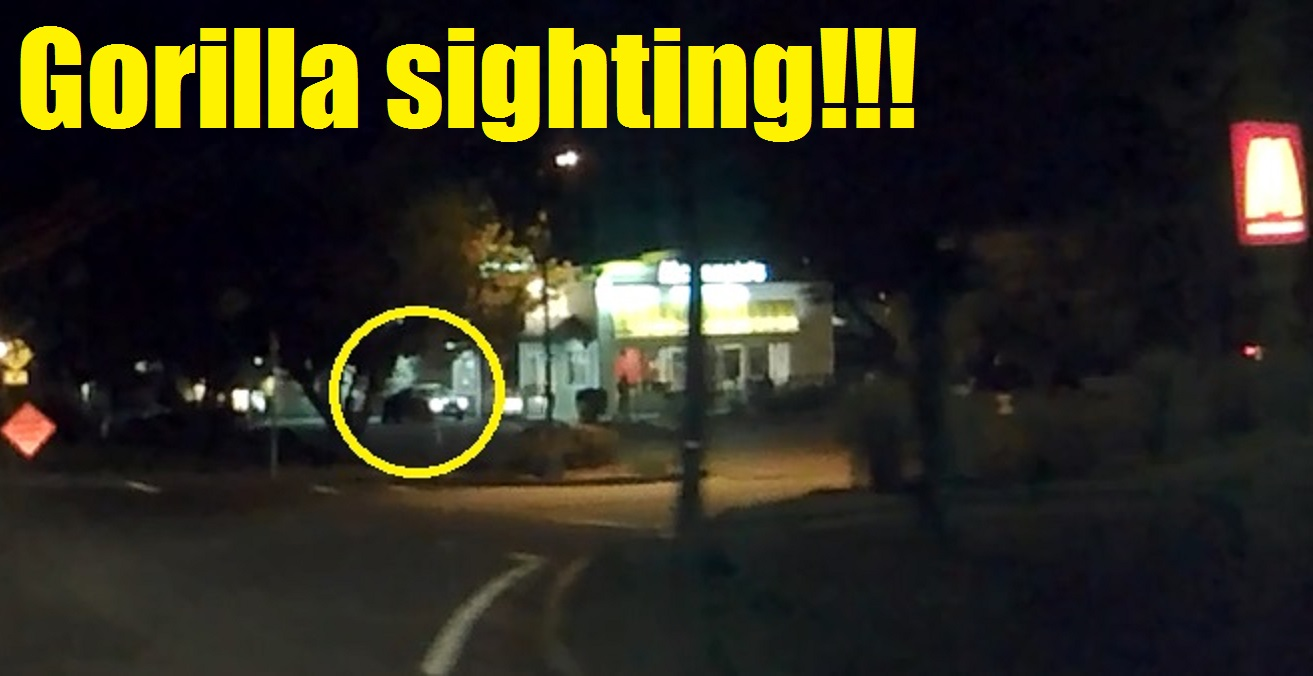 YPD investigating suspicious primate ducking behind cars and stealing straws from local drive-thru…