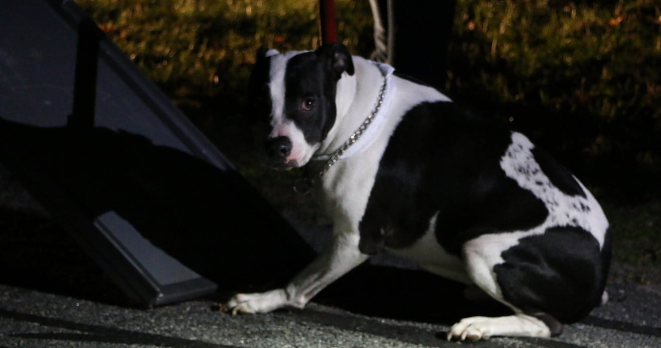 PIT BULL STRUCK IN TONGUE WITH TASER: Officers save dog's life after owner overdoses on heroin… [VIDEO]