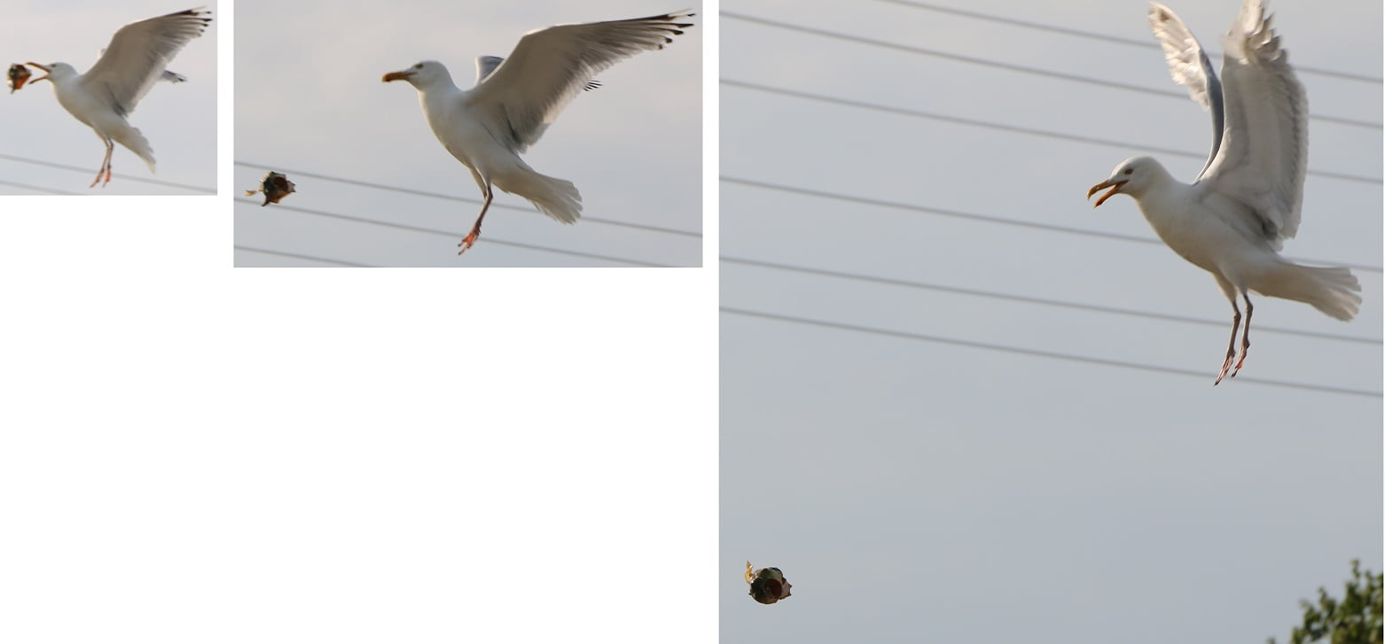 CAUGHT ON CAMERA:  Hytown gull murdering shellfish…