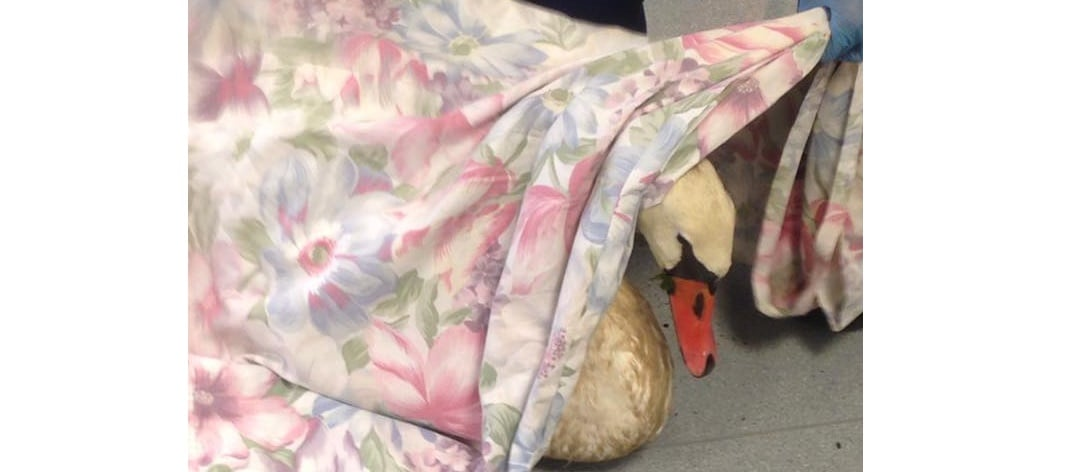 Injured swan brought in for care and treatment…